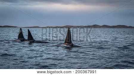 Three Killer whales or Orcas in mountain landscape in Tromso Norway, hunting for herring in the fjord