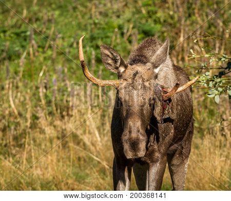European elk, Alces alces, with antlers and skin hanging from antler. This is a elk bull living in Elgtun, an Norwegian elk park. Moose.