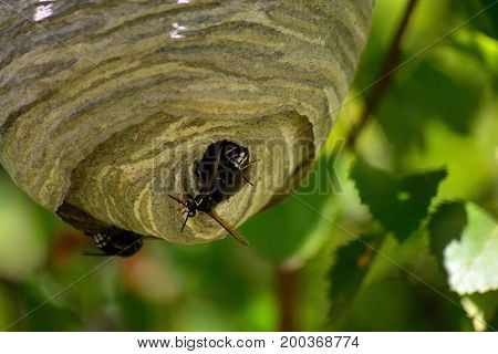 Bald Faced Hornet Blackjacket Hive in the Summer