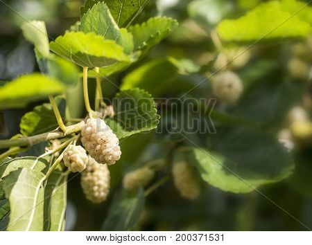 White mulberry fruit is ready for picking.
