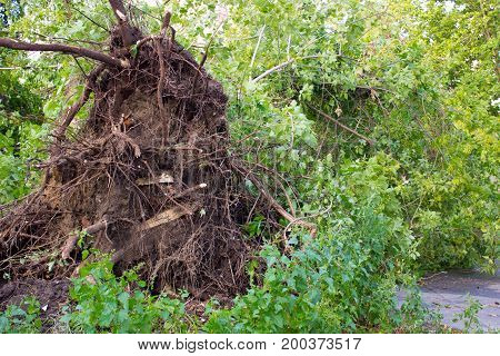 Uprooted Tree Damaged By Storm