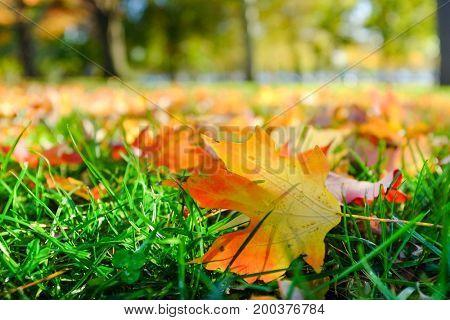 Autumn maple leaf on grass