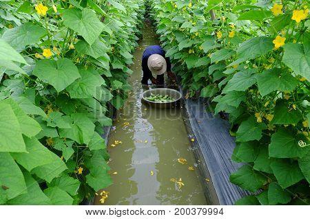 Asian Farmer On Cucumber Farm
