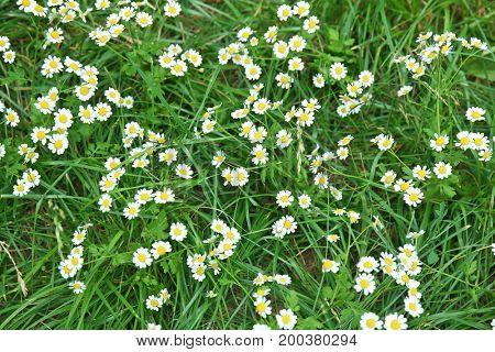 Beautiful chamomile flowers on green meadow