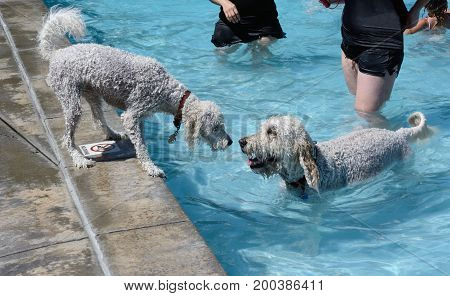 Young white labradoodle dog watching older white labradoodle dog in the swimming pool from safety of edge of pool at doggie swim event