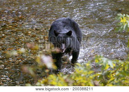 Black Bear running in creek chasing salmon fish.