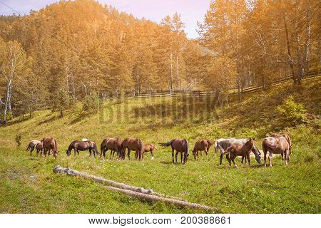 Brown Horses Eat Grass On A Summer Day