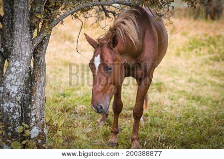 A portrait of a brown beautiful horse with a black mane on a summer day against a background of green forest and field. The horse eats green grass
