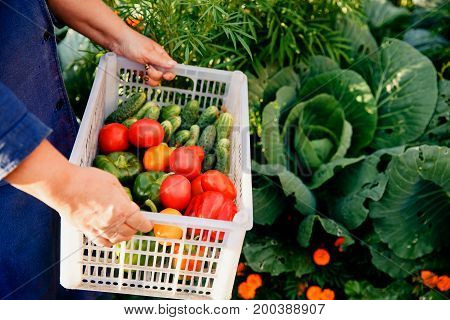 Close-up of a farmer wearing gloves holds a basket of a box with ripe vegetables: green cucumbers, red and yellow tomatoes, peppers, chili peppers. Against the background of cabbage. Concept harvesting in autumn, bio-farm. Blick light and sun.