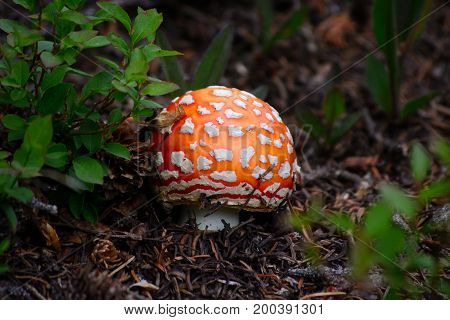 Red Orange and White Speckled Fly Agaric Mushroom