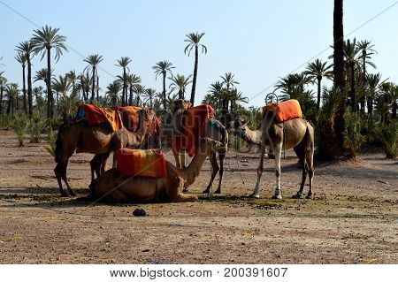 Camels Caravan. Camel caravan rests before being sent on a long journey.