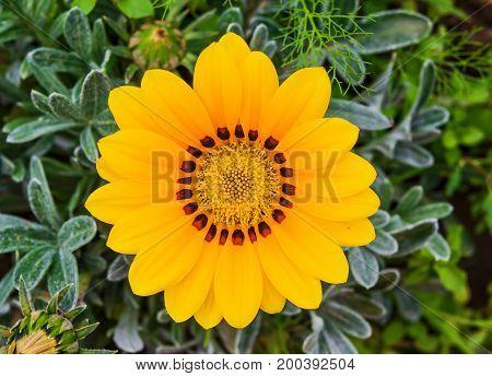 Annual garden yellow flower gazania, closeup, top view