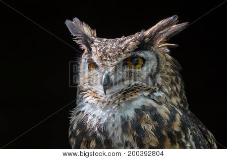 Close up head portrait of a mackinders eagle owl Bubo capensis mackinderi staring slightly to the left with a dark background