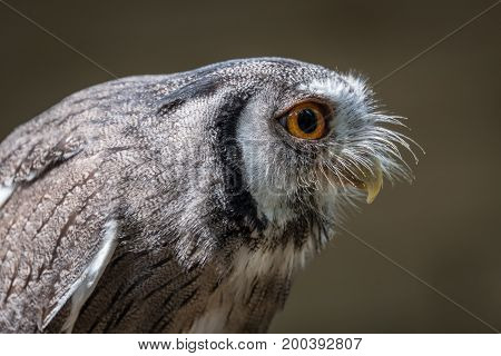 Close up profile photograph of an Indian scope owl Otus bakkamoena leaning and staring to the right
