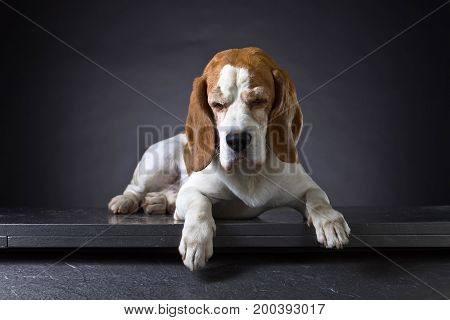 Portrait of an old dog staring at the bottom . Purebred adult Beagle on a dark background .