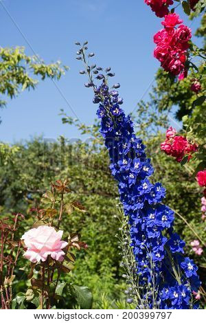 Close up of the blue flowers with a white center in a delphinium with a pink rose on the left and a wild rose bush on the right.