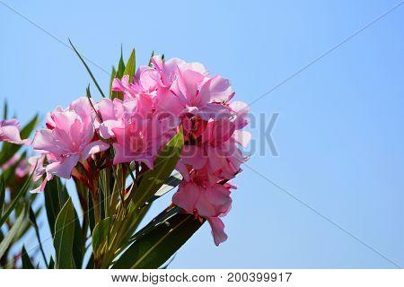 Pink flowering oleander on blue sky background