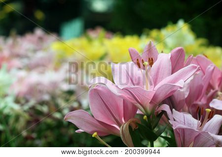 Close up of pink lily flowers in full bloom in a garden