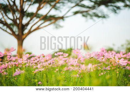 Cosmos bipinnatus flowers blooming in the garden with tree.
