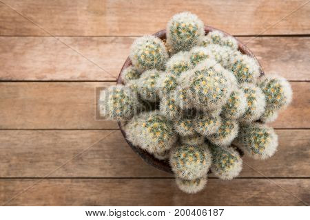 Top view of Mammillaria Carmenae Cactus plant in a ceramic pot on wooden table background.