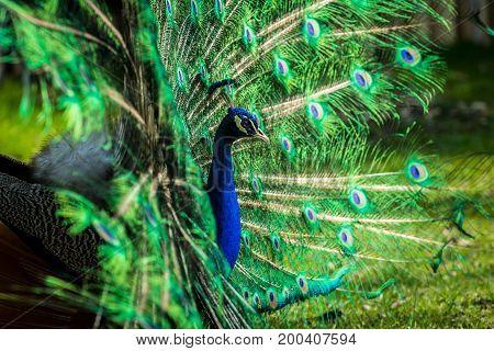 Very nice and colorful Male of Indian peafowl (Pavo cristatus). Wildlife animal.
