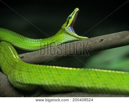 Red-Tailed Green Ratsnake Yawning Isolated on Nature Background