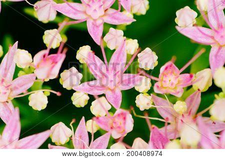 Rhodiola Rosea Medicinal Plant Nb.4