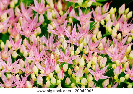 Rhodiola Rosea Medicinal Plant Nb.6
