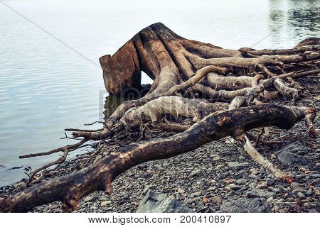 A picturesque snag on the shore. Lake. Siberia, Russia.
