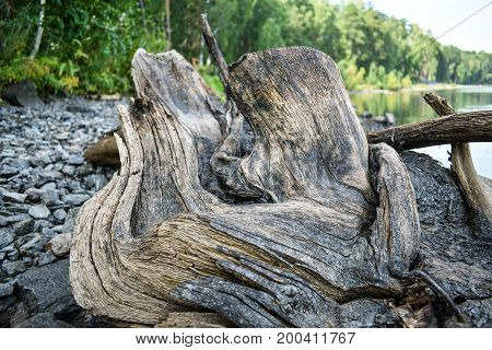 An old snag on the shore. Picturesque wood texture.