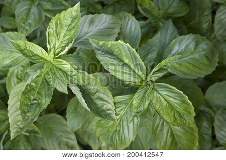 Basil fragrant in nature on a plantation in summer