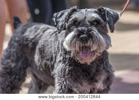 A Miniature Schnauzer. looking directly at the camera, while out for a walk on a sunny, summers day