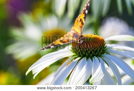 a butterfly from the family of the nymphalides is an admiral, sits on a large garden daisy, close-up of an insect's muzzle, looks into the camera, white long petals and a yellow flower core,