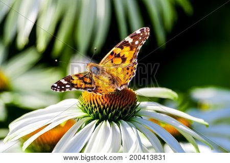 a butterfly from the family of the nymphalides is an admiral, sits on a large garden daisy, a back view, white long petals and a yellow flower core, daisy, sunny