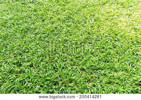 Beautiful fresh green grass texture and background.
