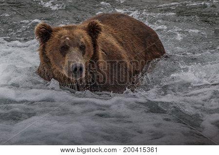 Grizzly bear in Alaska Katmai National Park hunts salmons (Ursus arctos horribilis)