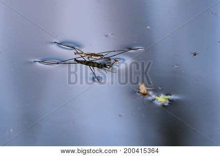 common pond skater or common water strider