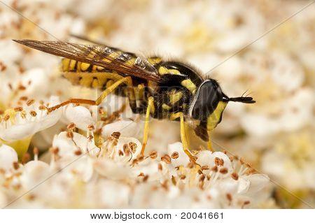 Hoverfly Feeding On Flowers