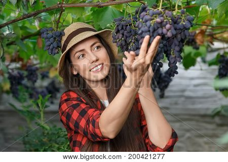 closeup portrait of happy young woman gardener picking grape. Girl farmer. Harvesting of grape. Gardening, agriculture, viticulture, harvest concept