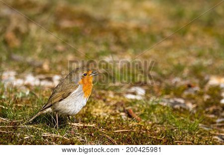 Singing robin sitting in moss and grass on the ground, copy space on top and right side, Jomfruland in Norway