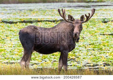 Bull Moose in Lake - Wild Shiras Moose in the Rocky Mountains of Colorado