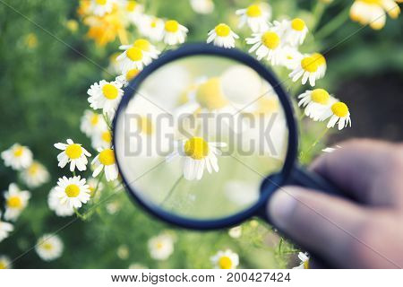 closeup of hand holding magnifying glass to a daisy at flower field
