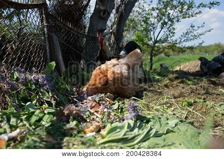 Hens feed on the traditional rural barnyard. Hen standing in grass on rural garden in countryside. Close up of chicken standing at barn yard with chicken coop. Free range poultry farming