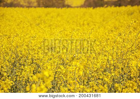 Close Up Of Yellow Field Flowering Oilseed Rape On Springtime (brassica Napus), Blooming Canola, Bri