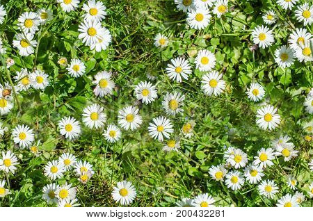 daisies on a green meadow in summer seamless