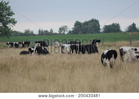 Pasture full of Holstein cows in the tall grasses in the afternoon.