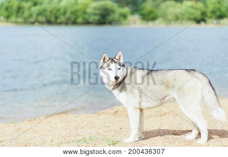 Siberian Huskies on a beach. Dog on the shore of the lake.