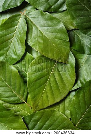 Creative Background Made Of Leaves . Texture.flat Lay. Nature Concept.hornbeam Leves