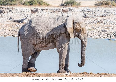 An african elphant Loxodonta africana scratching its leg with a foot at a waterhole in Northern Namibia