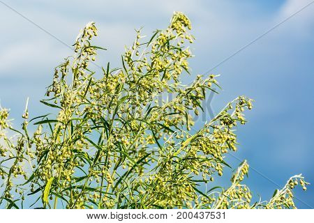 Wild herb Wormwood (Artemisia absinthium). The flowering tree